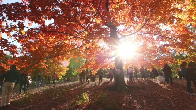 WS T/L TU PAN Shot of people and autumnal fallen leaves under the waving autumnal color trees by winds at western sun / New York, United States