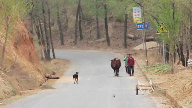 vidéos et rushes de ws shot of people and pet animal walking on road / valley of yellow river, shanxi, china - animaux au travail