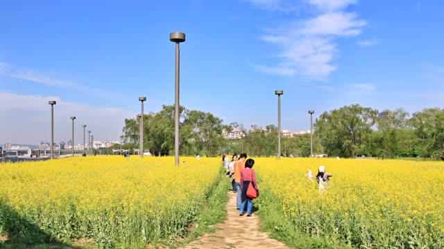 ms t/l shot of people enjoying in oilseed rape flowers  / seoul, south korea - crucifers stock videos & royalty-free footage