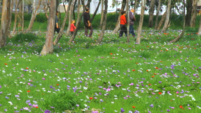 MS PAN Shot of People roaming along anemonies, colorful wild flower bloom in park at spring / Israel
