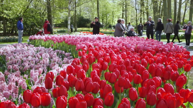 ws shot of people taking pictures of tulip fields at keukenhof gardens / lisse, south holland, netherlands - オランダ点の映像素材/bロール
