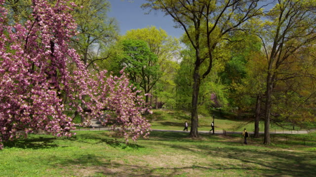 Shot of people walking along a path in Central Park, NYC on a sunny day. A large cherry blossom tree is in the foreground