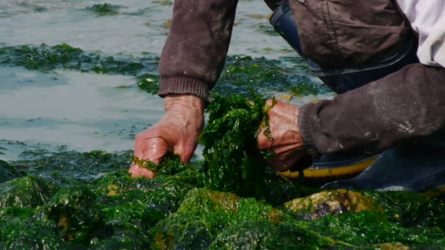 vidéos et rushes de shot of picking brown seaweed with both hands at the sea - varech