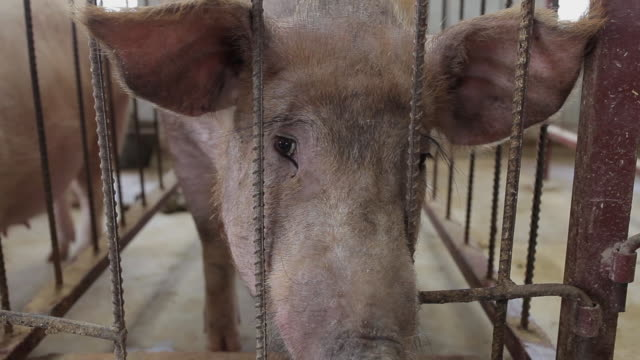 cu shot of pig in pig farm / xian, shaanxi, china - livestock stock videos & royalty-free footage