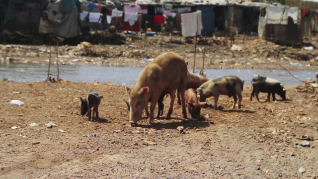 ms shot of pig with piglets and local life / freetown, sierra leone - medium group of animals stock videos & royalty-free footage