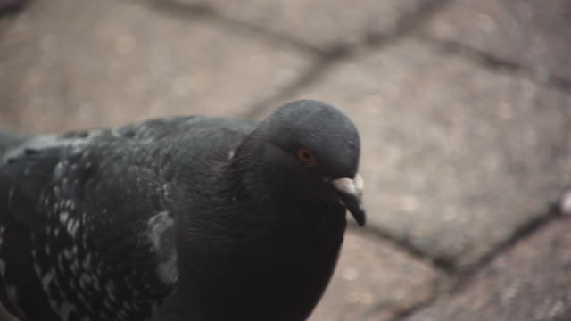 CU TS SLO MO Shot of pigeon in city / United Kingdom