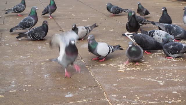 stockvideo's en b-roll-footage met shot of pigeons pecking at scraps of food on a pavement. - pikken