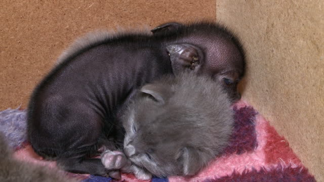 MS Shot of piglet and kitten sleeping / South Africa