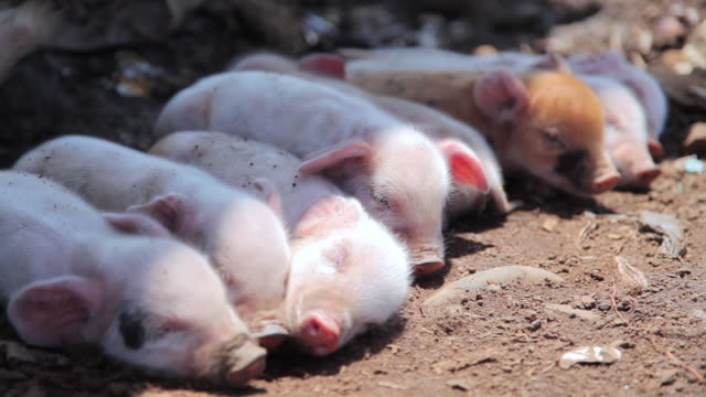 CU Shot of piglets / Freetown, Sierra Leone