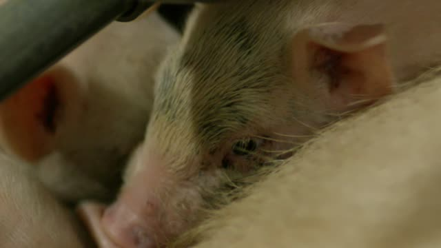 shot of piglets in a farm - mittelgroße tiergruppe stock-videos und b-roll-filmmaterial