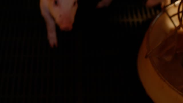 shot of piglets in a farm - large group of animals stock videos & royalty-free footage