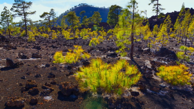 CU T/L ZO Shot of pine trees on Corona forestal Natural Park / Tenerife, Tenerife Island, Canary Islands, Spain