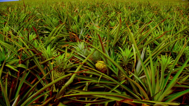 MS PAN TU Shot of  pineapple plantation / Honolulu HI, United States