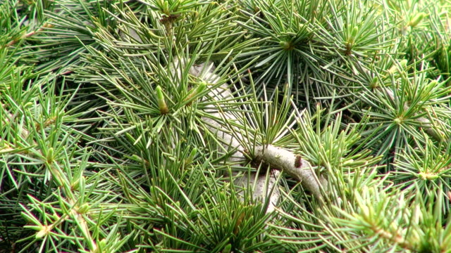 cu shot of pine-needle (pinus) / saarburg, rhineland-palatinate, germany - 針状葉点の映像素材/bロール