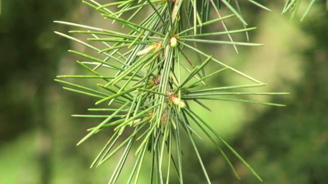 cu shot of pine-needle (pinus) waving with wind / saarburg, rhineland-palatinate, germany - rhineland palatinate stock videos & royalty-free footage
