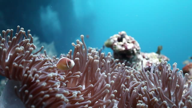 ms shot of pink anemone fish hiding in anemone / sipadan, semporna, tawau, malaysia - sea anemone stock videos and b-roll footage