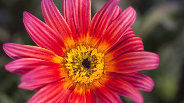 vídeos de stock e filmes b-roll de cu t/l shot of pink daisy blooming and closing petals / studio city, california, united states - cabeça de flor