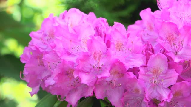 cu shot of pink rhododendron blossom / saarburg, rhineland palatinate, germany - heidekraut stock-videos und b-roll-filmmaterial