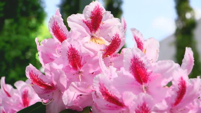 cu shot of pink rhododendron blossom / saarburg, rhineland palatinate, germany - gruppo medio di animali video stock e b–roll