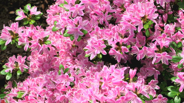 ms shot of pink rhododendron / saarburg, rhineland palatinate, germany - rhododendron stock videos and b-roll footage