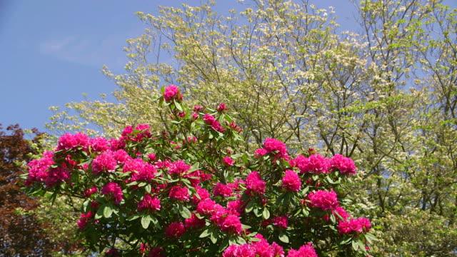 ms shot of pink rhododendron / weiskirchen, saarland, germany - heidekraut stock-videos und b-roll-filmmaterial