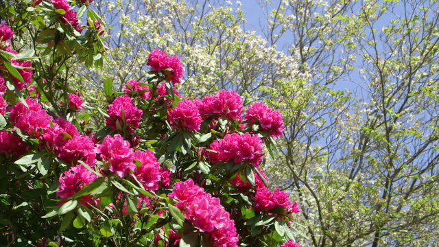 ms shot of pink rhododendron / weiskirchen, saarland, germany - rhododendron stock videos and b-roll footage