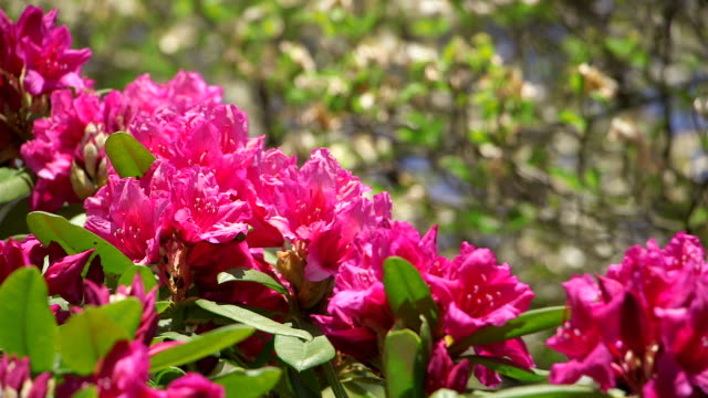 cu shot of pink rhododendron / weiskirchen, saarland, germany - heather stock videos & royalty-free footage
