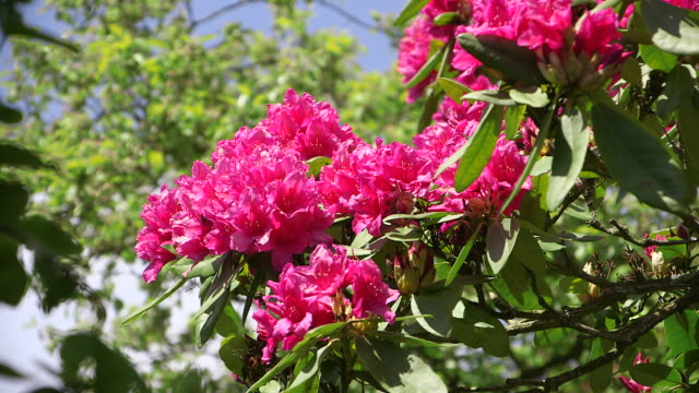cu shot of pink rhododendron / weiskirchen, saarland, germany - rhododendron stock videos and b-roll footage