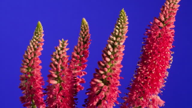 cu t/l shot of pink veronica blooming in front of blue background / studio city, california, united states - five objects stock videos & royalty-free footage