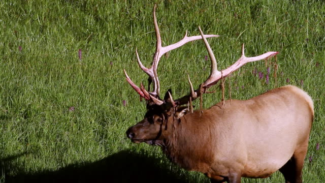 MS TS Shot of PL bull elk (Cervus canadensis) loses his velvet / Grand Lake, Colorado, United States