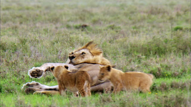 shot of playful lion cubs and their father lion - young animal stock videos & royalty-free footage