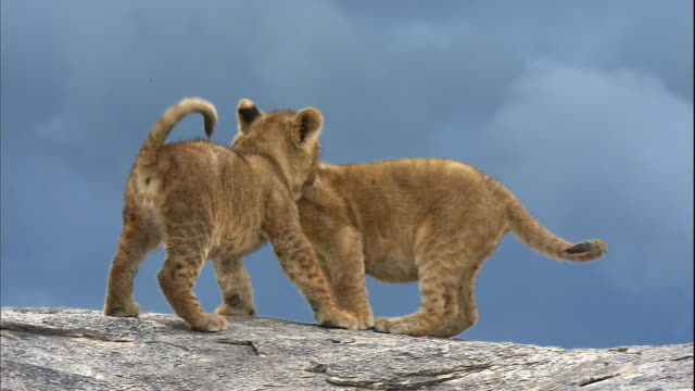 shot of playful lion cubs - lion cub stock videos & royalty-free footage