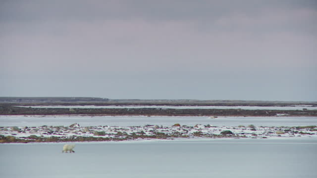 ws shot of polar bear is walking on frozen body of water / arviat, nunavut, canada - wiese stock videos & royalty-free footage