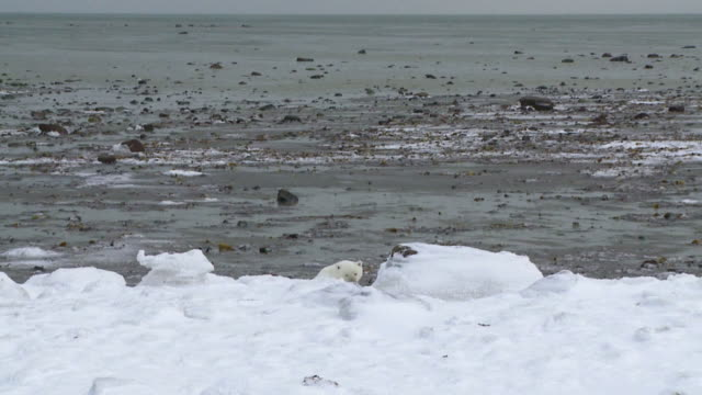 ms shot of polar bear lifting his head over snow covering hill / arviat, nunavut, canada - wiese stock videos & royalty-free footage