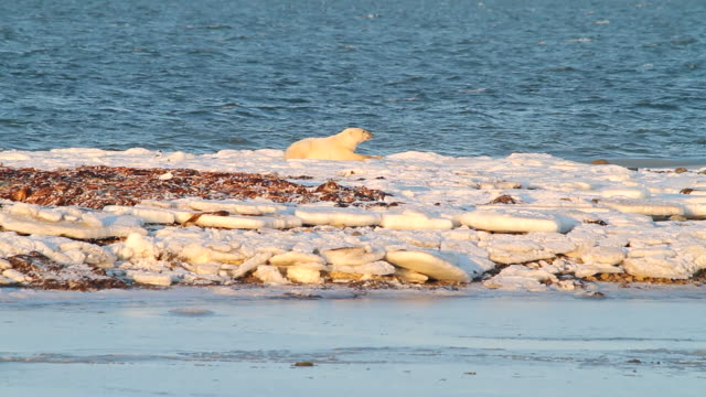 stockvideo's en b-roll-footage met ms shot of polar bear lying on ice with water flowing / arviat, nunavut, canada - wiese