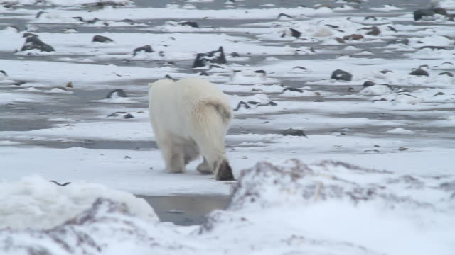 stockvideo's en b-roll-footage met ms ts r/f shot of polar bear quickly running away / arviat, nunavut, canada - wiese