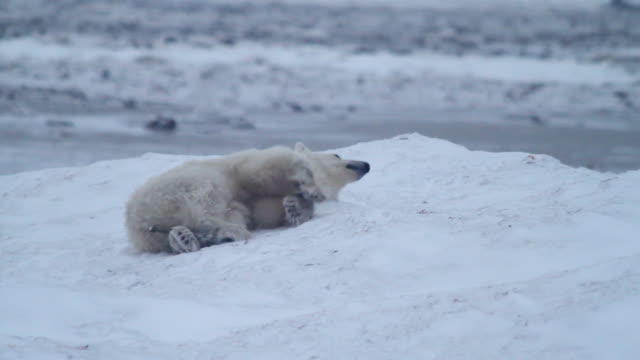 stockvideo's en b-roll-footage met ms ts r/f shot of polar bear rolling around and sliding in snow / arviat, nunavut, canada - wiese
