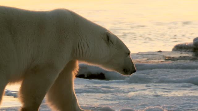CU TS Shot of Polar bear, Ursus maritimus, walking on frozen coast / Churchill, Manitoba, Canada