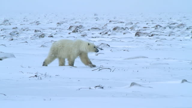 stockvideo's en b-roll-footage met ms ts shot of polar bear walking in snow / arviat, nunavut, canada - wiese