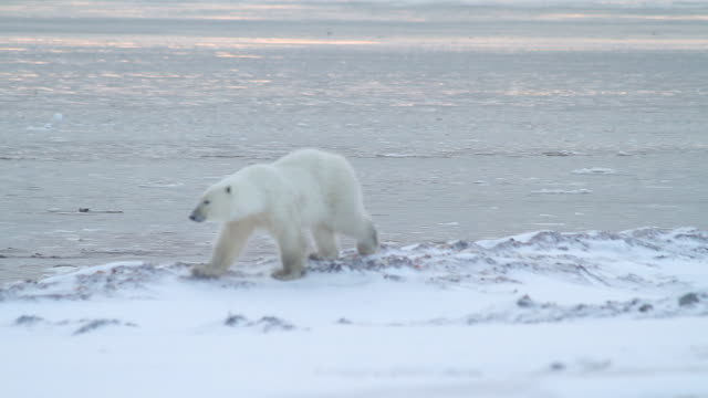 stockvideo's en b-roll-footage met ms ts shot of polar bear walking near water edge / arviat, nunavut, canada - wiese