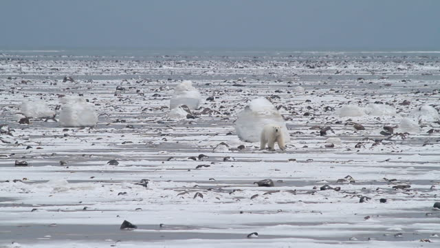 stockvideo's en b-roll-footage met ws shot of polar bear walking on frozen ocean / arviat, nunavut, canada - wiese