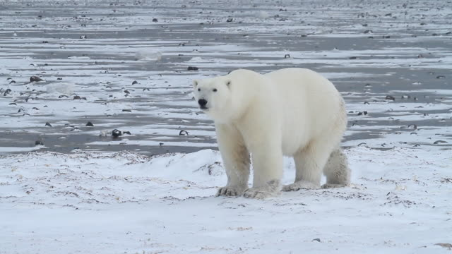 stockvideo's en b-roll-footage met ms pan shot of polar bear walking slowly on frozen ocean / arviat, nunavut, canada - wiese