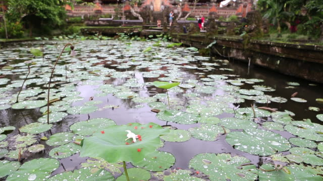 ms tu shot of pond full of water lilies / ubud, bali, indonesia - ubud district stock videos & royalty-free footage
