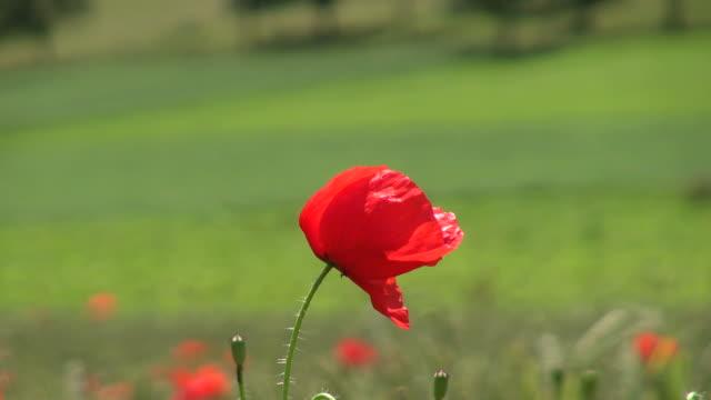 cu shot of poppy flower blowing in wind / saarburg, rhineland palatinate, germany - saarburg stock-videos und b-roll-filmmaterial