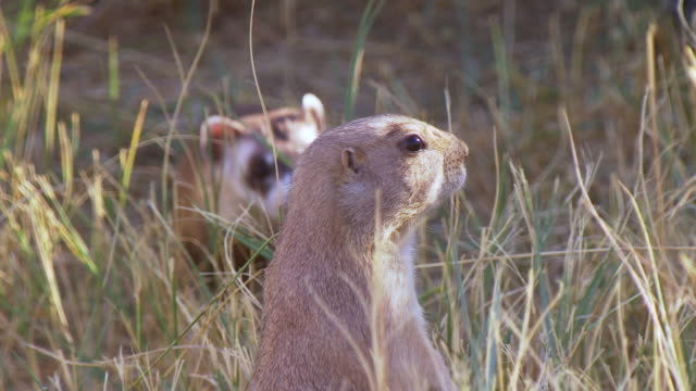 ms r/f shot of prairie dog and black footed ferret stand and look around together at wildlife national black footed black footed ferret conservation center / fort collins, colorado, united states - 10秒或更長 個影片檔及 b 捲影像