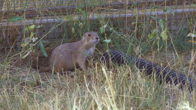 ms shot of prairie dog at end of pipe at wildlife national black footed black footed ferret conservation center / fort collins, colorado, united states - wildlife conservation stock videos & royalty-free footage