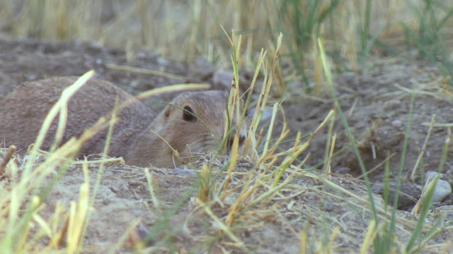 cu shot of prairie dog coming out of burrow entrance and looking around outside at us fish and wildlife national black footed ferret conservation center / fort collins, colorado, united states - wildlife conservation stock videos & royalty-free footage