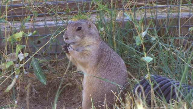 ms shot of prairie dog digging hole in ground at wildlife national black footed black footed ferret conservation center / fort collins, colorado, united states - wildlife conservation stock videos & royalty-free footage