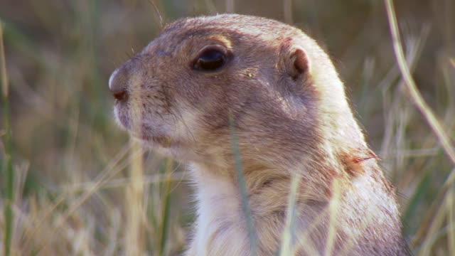 cu shot of prairie dog in nature looking at camera and looking around at wildlife national black footed black footed ferret conservation center / fort collins, colorado, united states - roditore video stock e b–roll