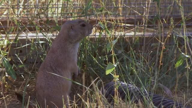 ms shot of prairie dog looking around close to pipe at us fish and wildlife national black footed ferret conservation center / fort collins, colorado, united states - wildlife conservation stock videos & royalty-free footage